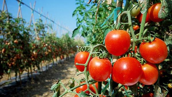 Cà chua là thực phẩm làm sạch dạ dày hiệu quả