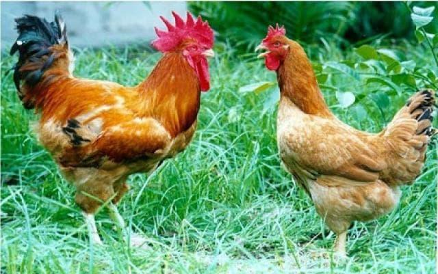 Cách chọn gà ta ngon, chắc thịt cho dịp Tết