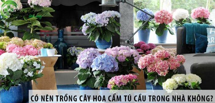 Có nên trồng cây hoa cẩm tú cầu trong nhà không?