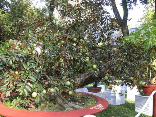 Cây vú sữa trồng trong sân nhà